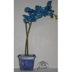 Storczyk niebieski w...